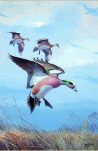 Ned Smith Print - American Wigeon